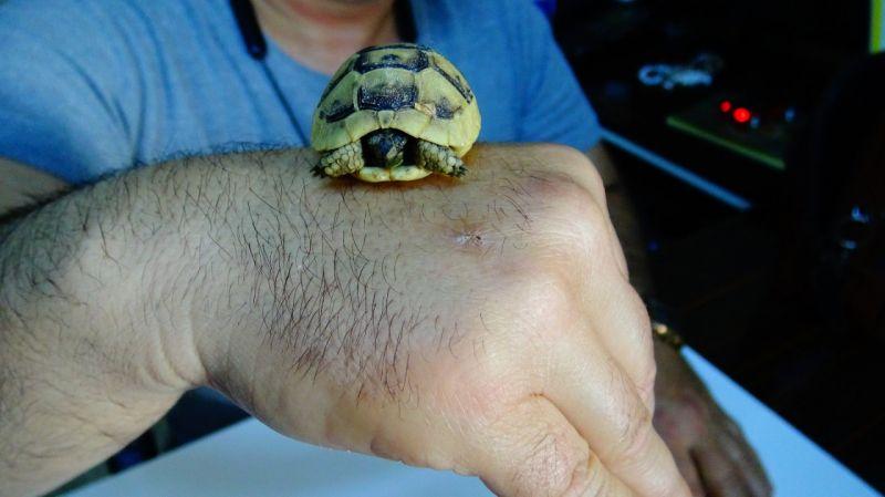 Bulduğu ceviz büyüklüğündeki kaplumbağa yavrusunu görevlilere teslim etti