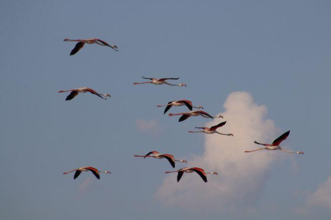 Popülasyondaki artış ve besin azlığı Tuz Gölü'nde yavru flamingo kayıplarına neden oluyor