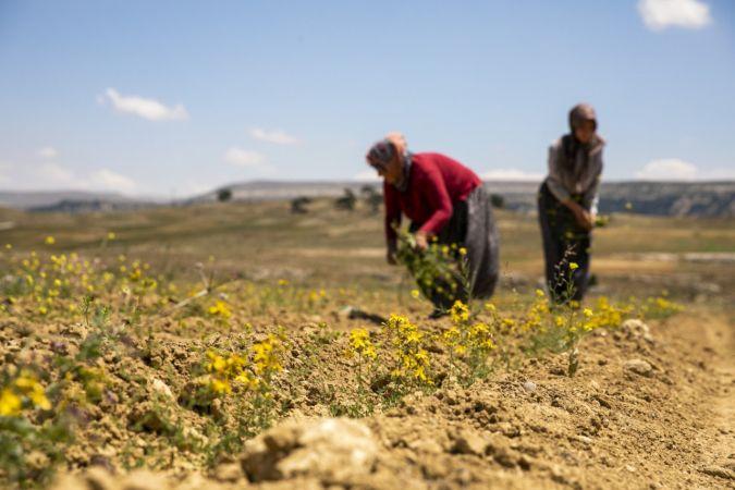 Kantaron fideleri ilk çiçeklerini açtı