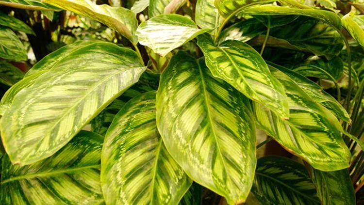 Evin havasını tertemiz yapan 10 bitki