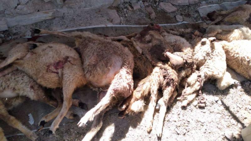 Kurtlar sürüye saldırdı; 50 koyun öldü