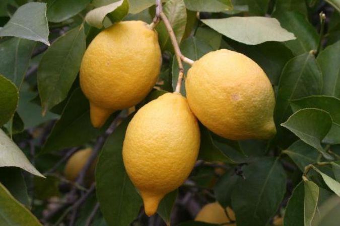 Türkiye'nin limon ihracatı 7 ayda yüzde 59 arttı