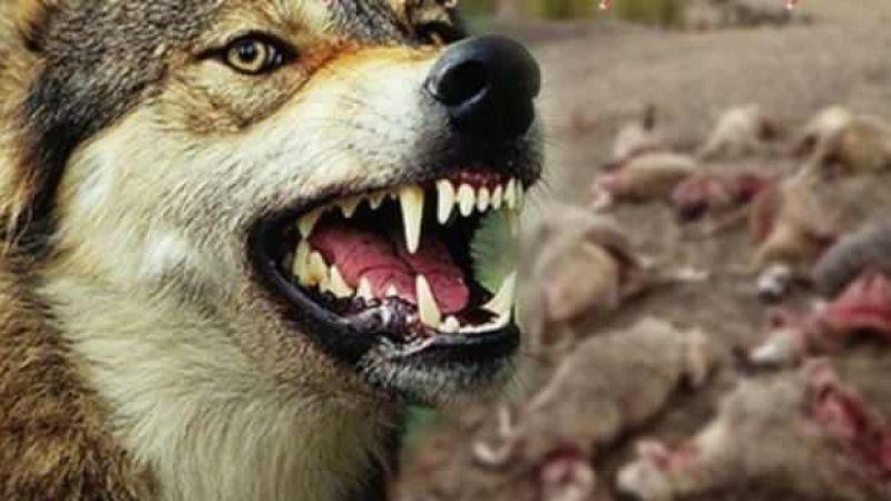 Karapınar'da kurtların saldırısı sonunu 2 koyun telef oldu