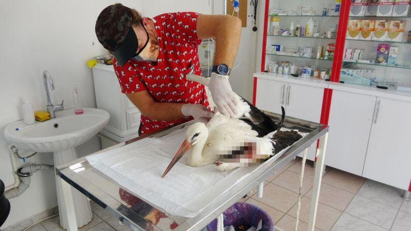Tüfekten çıkan saçmalarla yaralanan dişi leylek tedavi altına alındı