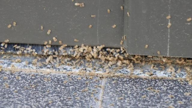 Dantel böceği 3 şehri istila etti