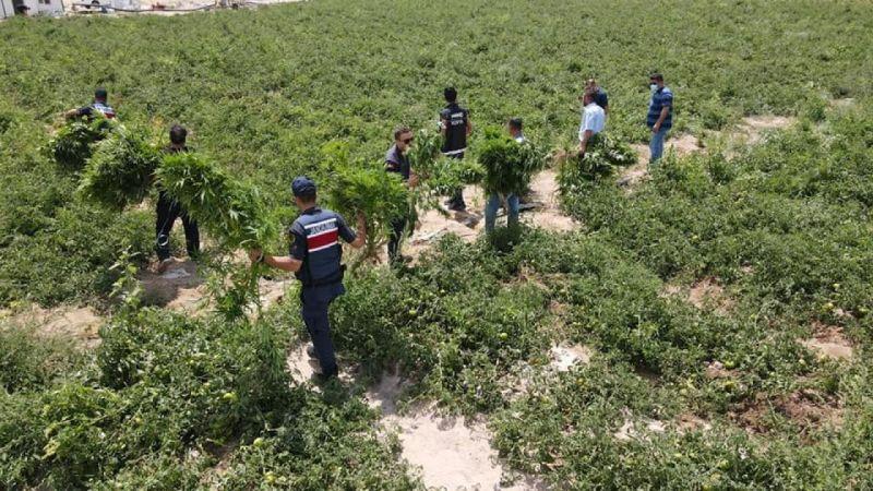 Konya'da domates tarlası içerisinde hint keneviri bitkisi ele geçirildi