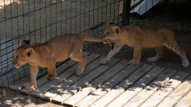 Aslanlar kükredi mahalleli ayağa kalktı