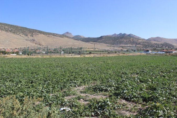 Karapınar'ın ham kavunları yurt dışına ihraç ediliyor