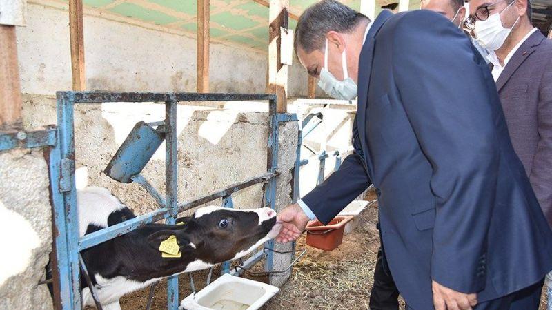 Karaman'da 70 bin büyükbaş hayvan aşılanacak