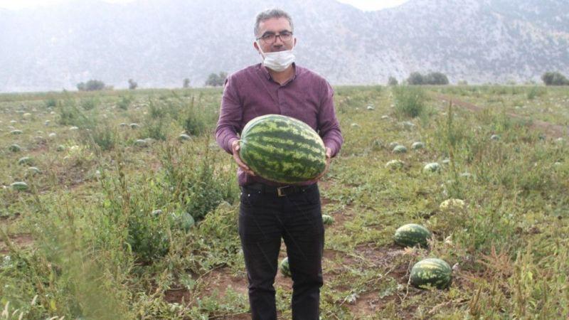Gembos Ovası'nda karpuz hasadı başladı