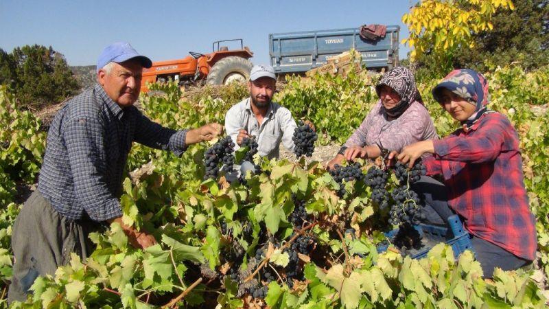 Bin 400 rakımda sofralık üzüm hasadı başladı