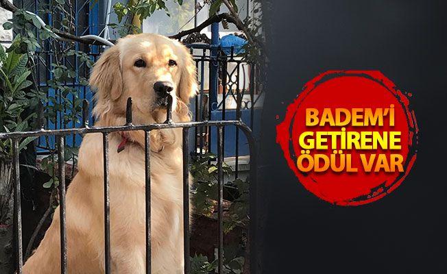 İzmit'te güpegündüz köpek hırsızlığı! Badem'i çaldılar, bulana büyük ödül var