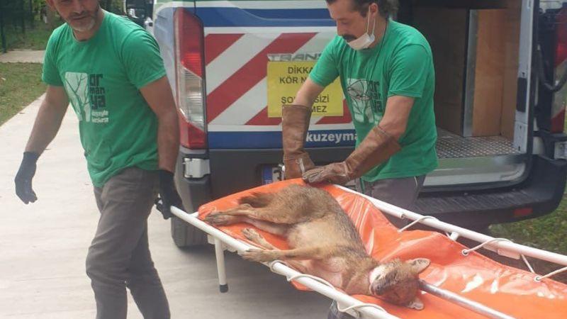 Yaralı çakal Ormanya ekipleri tarafından tedavi altına alındı