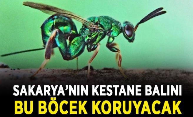 Sakarya'nın kestane balını bu böcek koruyacak