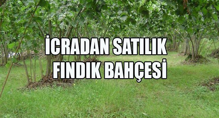 8717 m² fındık bahçesi icradan satılacak