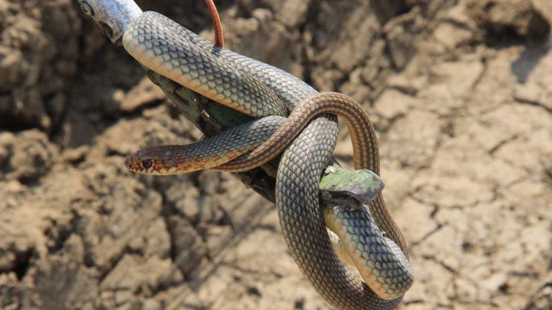 Korku dolu anlar! 1.5 metrelik yılan...