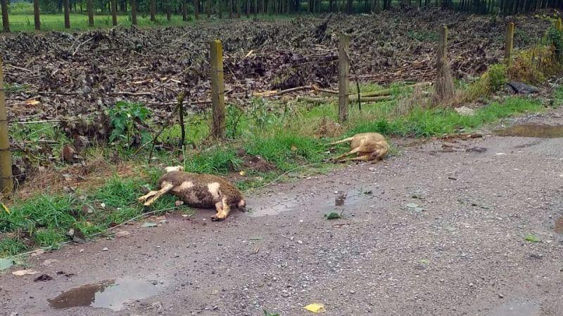 Yıldırım düştü, koyunlar telef oldu!