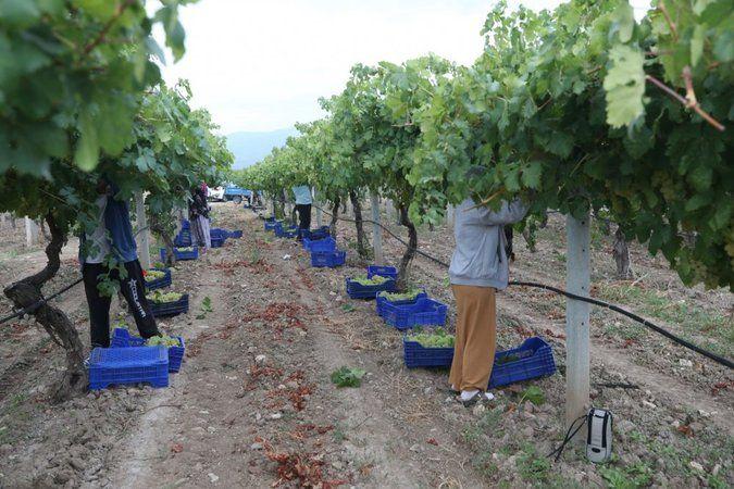 Pamukova'da üzüm hasadı başladı