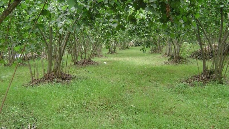 4260 m² fındık bahçesi icradan satılacak