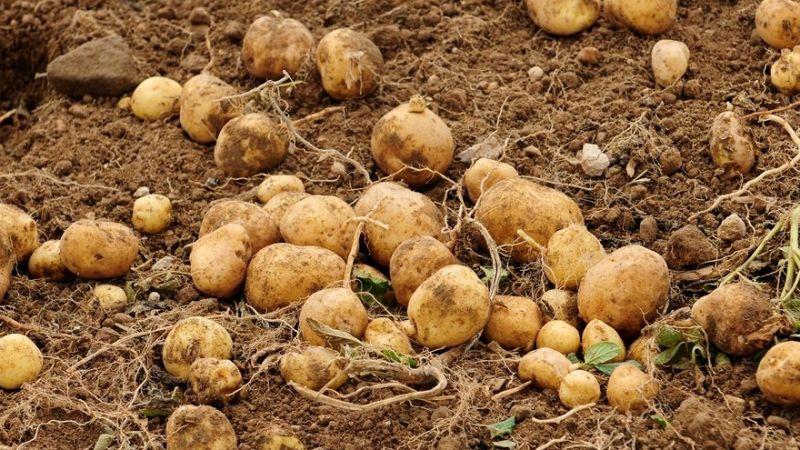 Kahramanmaraş dahil 25 ilde patates ekimi yasaklandı