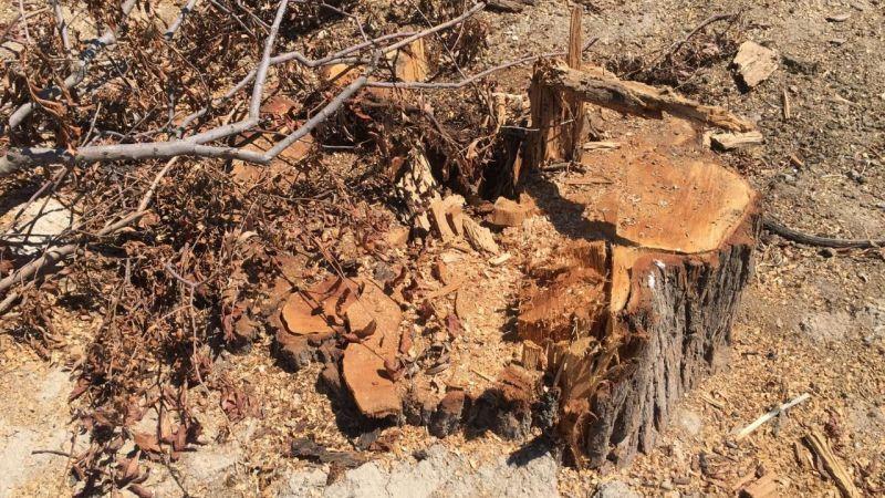 Elbistan Belediyesinden ağaç katliamı
