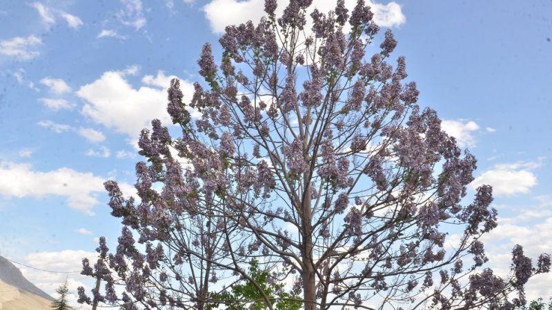 Elbistan'daki dünyanın en hızlı büyüyen ağacı: Kral ağacı