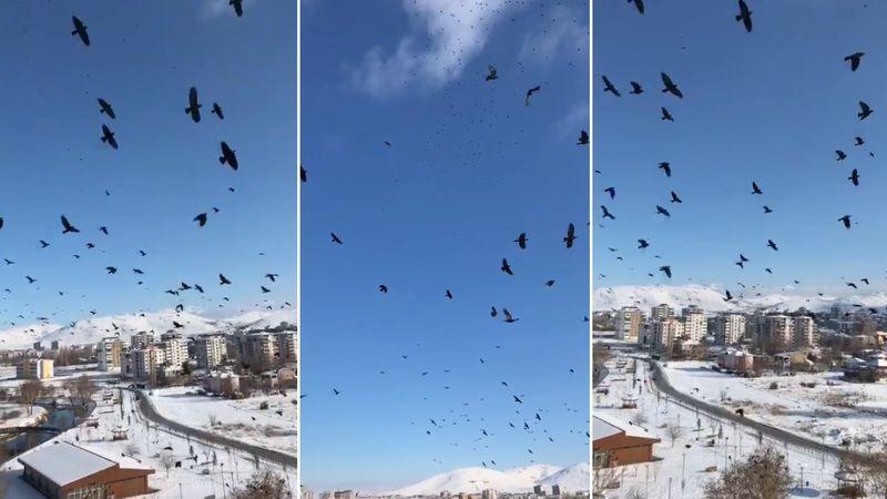 Elbistan'da aç karga sürüsü kent merkezine indi