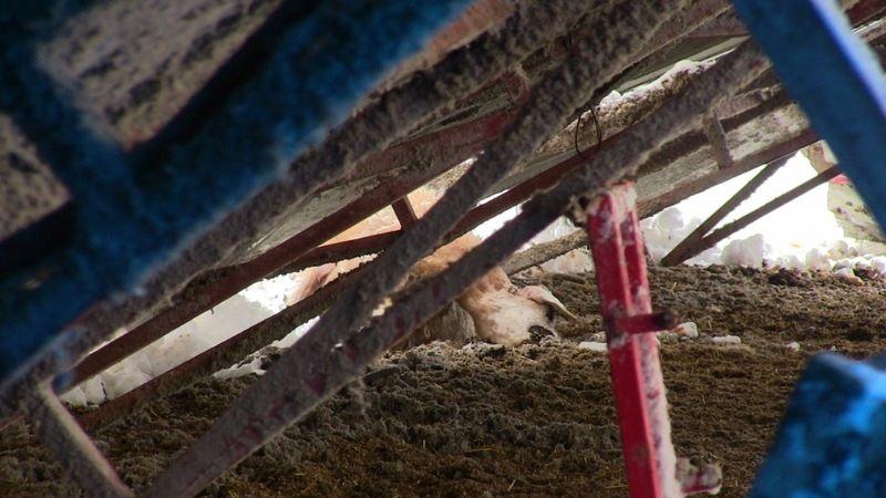 Elbistan'da ağıl çatısının çökmesi sonucu 5 koyun telef oldu 15'i de yaralandı