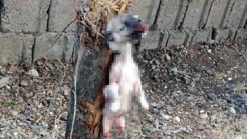 Kahramanmaraş'ta insanlık dışı olay: Yavru köpeğin ayaklarını kesip, ağaca astılar!