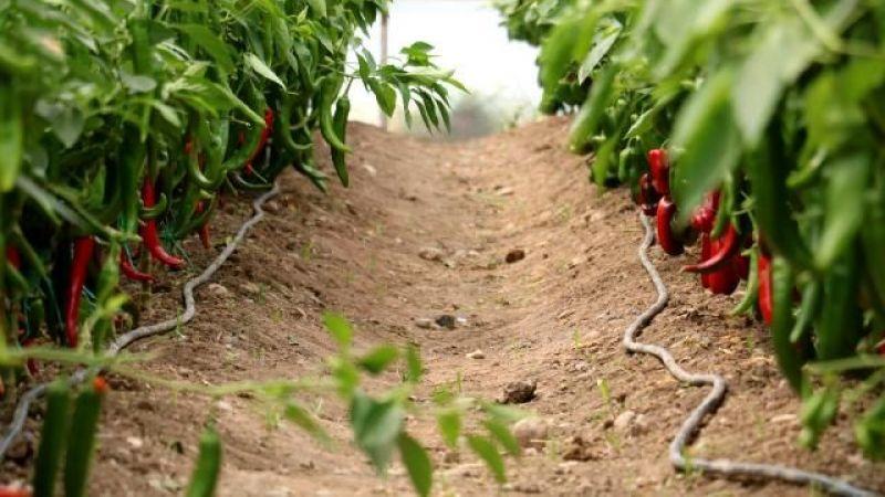 Kahramanmaraş'tan 30 ülkeye yerli hibrit tohum ihracatı