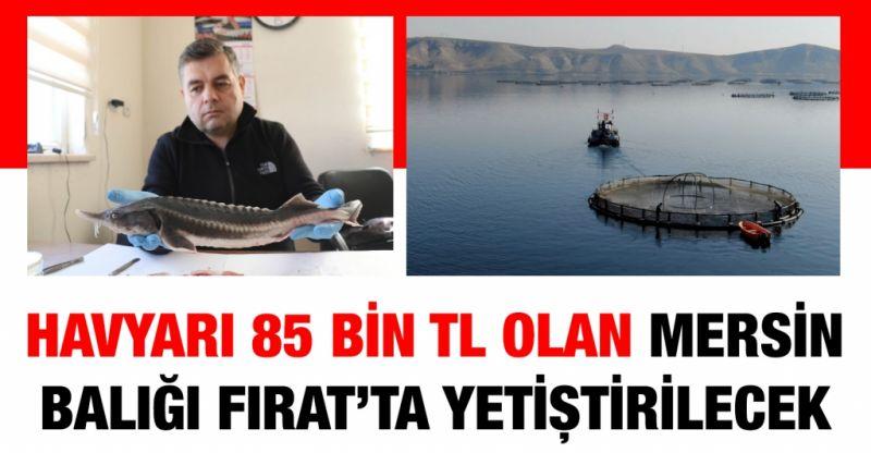 Havyarı 85 bin TL olan Mersin balığı Fırat'ta yetiştirilecek