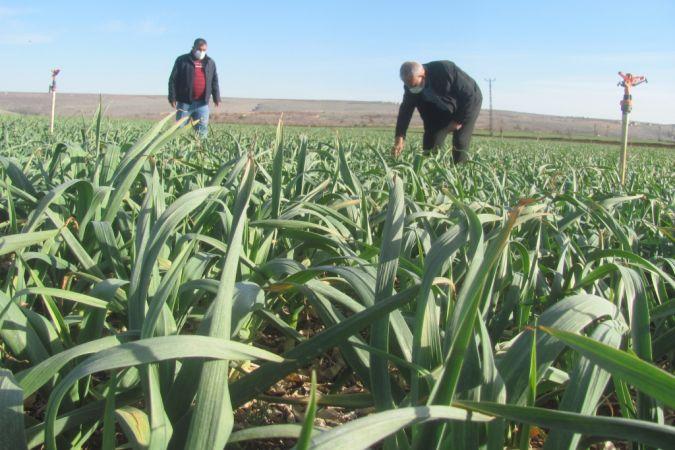 Araban'da tarım ürünleri incelendi
