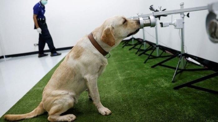 Bilimsel araştırma: Köpekler Covid-19'un kokusunu alabiliyor
