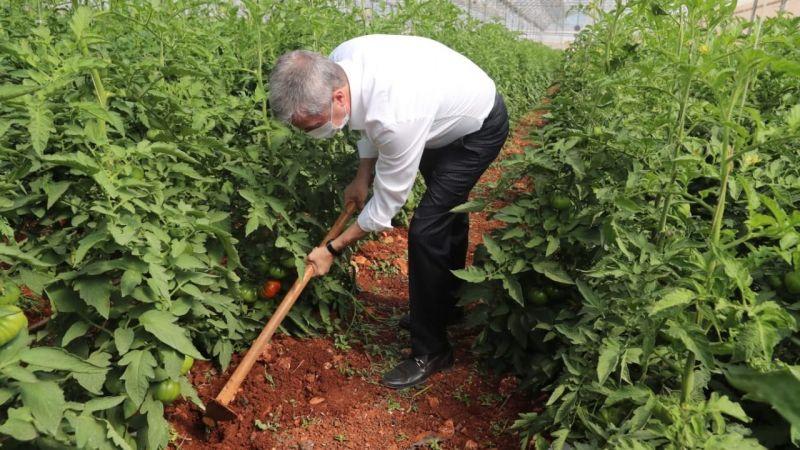 Başkan Tahmazoğlu Fide Hasadına Katıldı