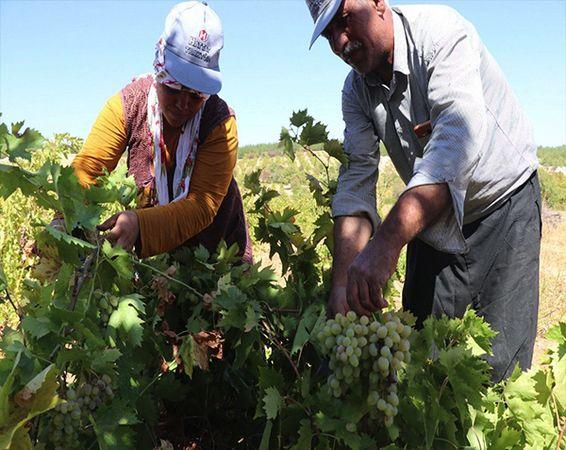 Gaziantep'te üzüm tarlada 3,5, markette 10 TL