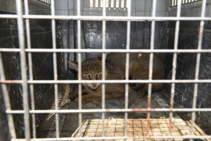 Yaralı bulunan saz kedisi, tedavisinin ardından doğaya bırakıldı