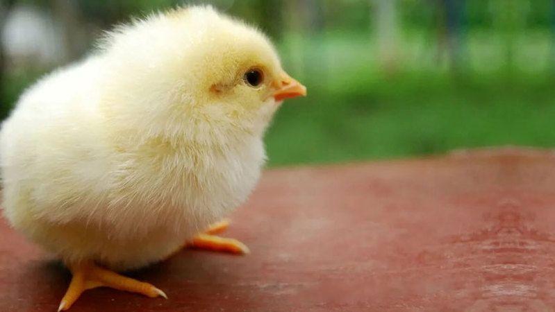 Oprukçu hane başı 20 civciv dağıtacak