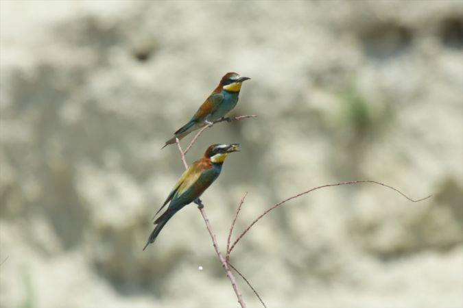 Arı kuşlarının göz alıcı güzellikleri ve avları