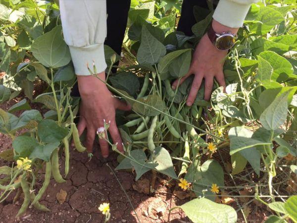 Hüyük'te kuru fasulye ekili alanlarda inceleme
