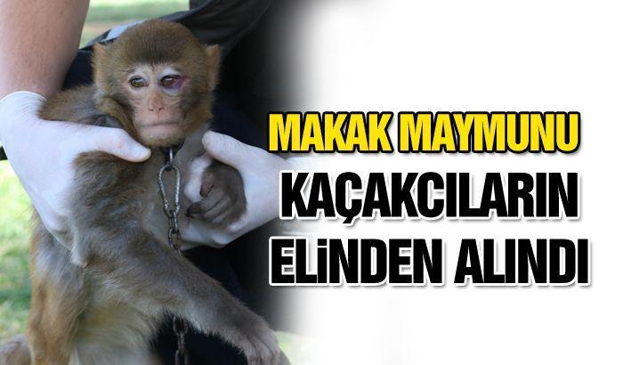 Makak maymunu kaçakcıların elinden alındı