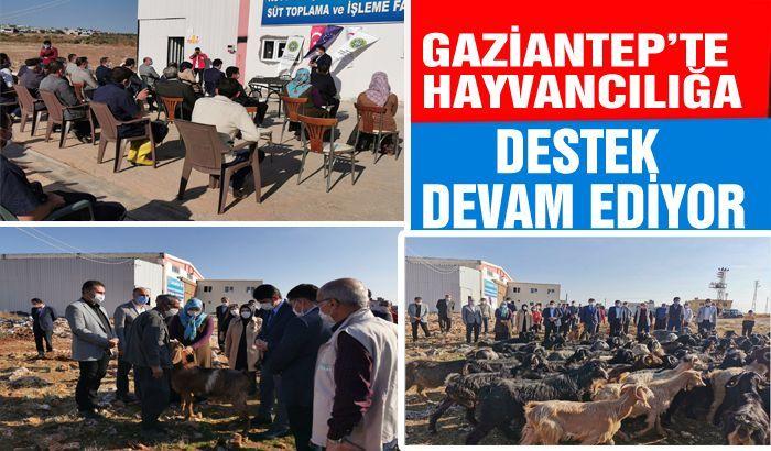 GAZİANTEP'TE HAYVANCILIĞA DESTEK DEVAM EDİYOR...