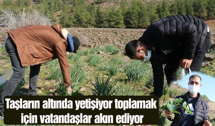 Taşların altında yetişiyor toplamak için vatandaşlar akın ediyor