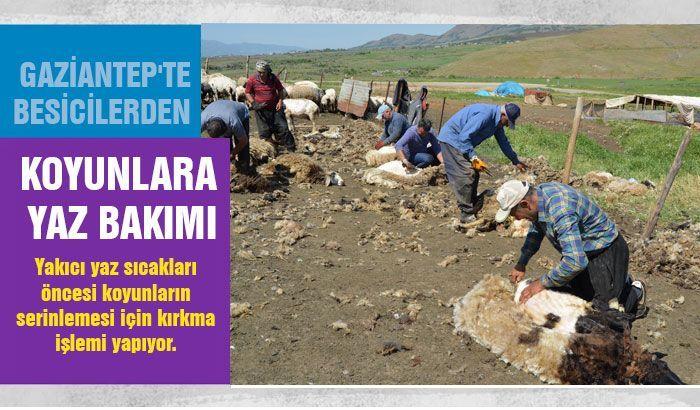 Gaziantep'te besicilerden koyunlara yaz bakımı