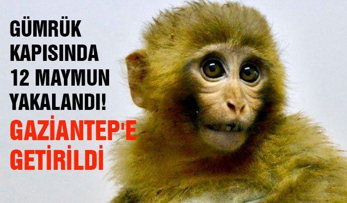 Gürbulak Gümrük Kapısında 12 maymun yakalandı! Gaziantep'e getirildi