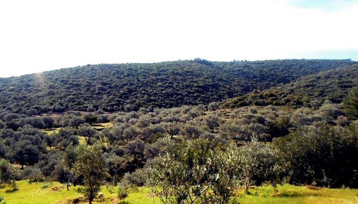Üreticiler uyardı: Yasa çıkarsa Türkiye'de zeytinlik kalmayacak