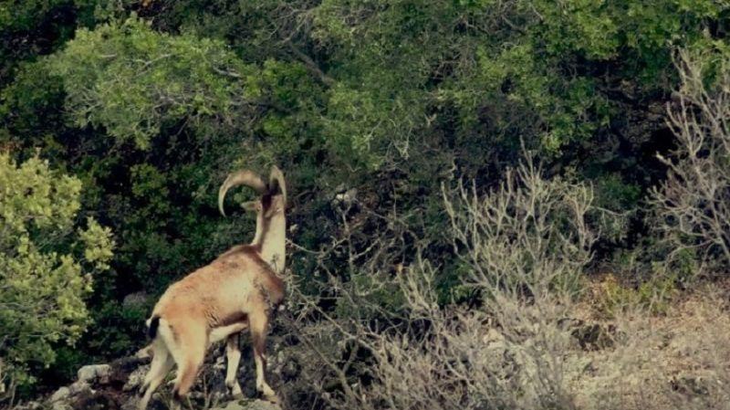 Tarım ve Orman Bakanlığı, 45 yaban keçisi için 'av ihalesi' açtı