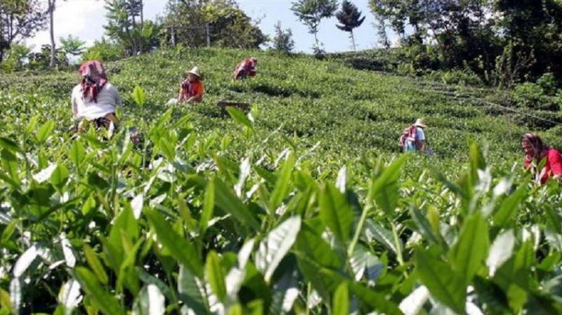 Rizeli çay emekçileri eyleme geçti: Devletin 4 TL olarak açıkladığı çayı sömürücü özellere 3.1 TL'ye vermek zorunda kaldık
