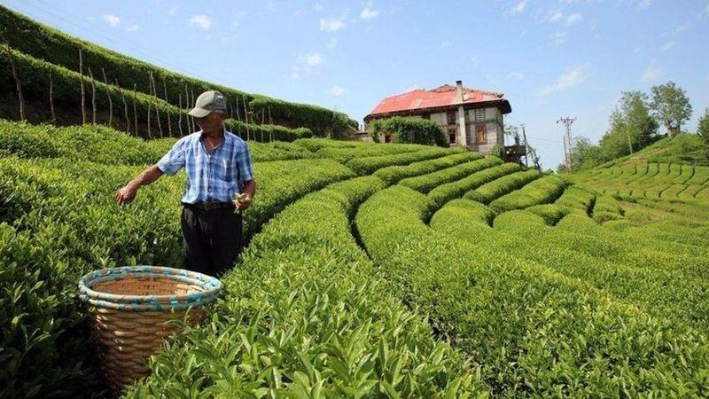 Özel sektöre mahkum edilen çay üreticisi kan ağlıyor!