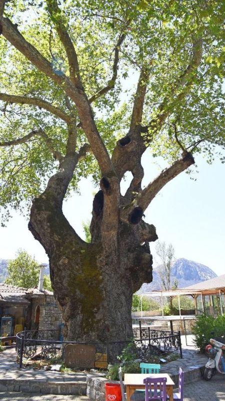 Bayır'daki Tarihi Çınar Ağacın Restorasyonu Yapılıyor