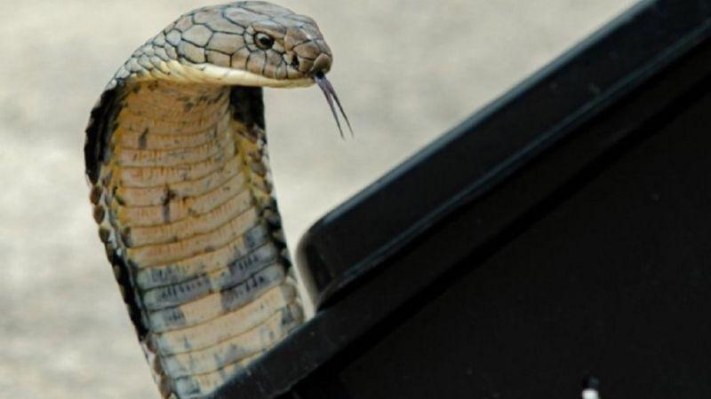 Eşini öldürmek istedi, kobra yılanı kiraladı!